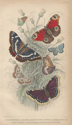 Peacock Drawing - Butterflies by Dreyer Wildlife Print Collections