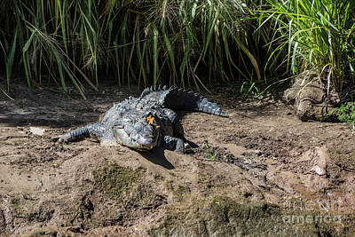 Photograph - Butterflies On A Crocodile by Kathy McClure