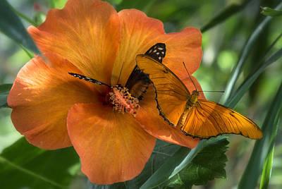 Photograph - Butterflies On An Orange Hibiscus by Saija  Lehtonen