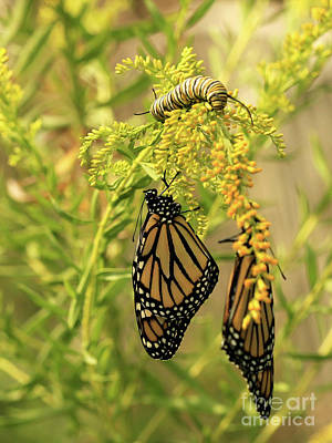 Photograph - Butterflies On Flowers With Caterpillar Photo by Luana K Perez