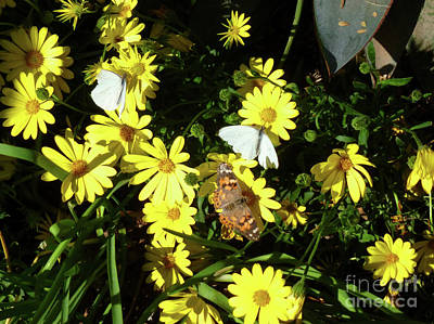 Photograph - Butterflies On The Daisies by Methune Hively