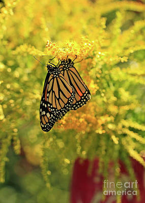 Photograph - Butterflies On Yellow Goldenrod Photo by Luana K Perez