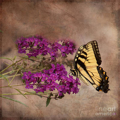 Photograph - Butterfly , Eastern Tiger Swallowtail by Sandra Clark