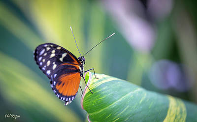 Photograph - Butterfly 01 by Phil Rispin