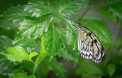 Photograph - Butterfly 02 by Philip Rispin