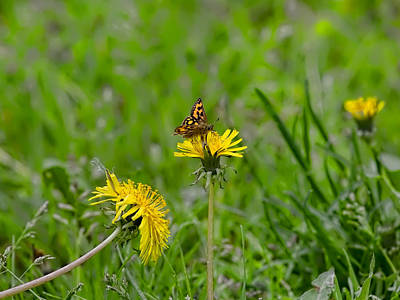 Photograph - Butterfly 1 On Dandelion by Leif Sohlman
