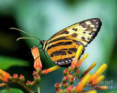Photograph - Butterfly #1957 by Chuck Flewelling