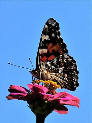 Photograph - Butterfly - 2 by Frank Chipasula