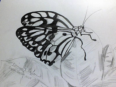 Drawing - Butterfly 2 by Kimmary MacLean