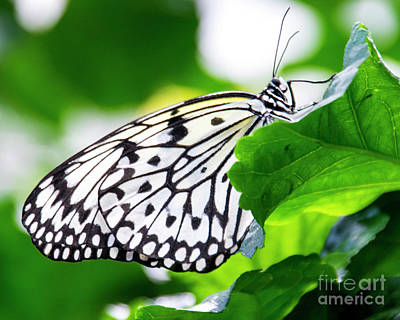Photograph - Butterfly #2025 by Chuck Flewelling
