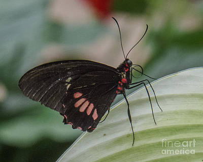 Photograph - Butterfly 8 by Christy Garavetto
