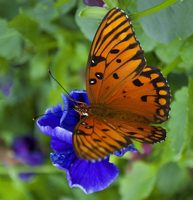 Butterfly 8-2 Art Print by Skip Willits