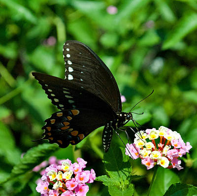 Butterfly 8-6 Art Print by Skip Willits