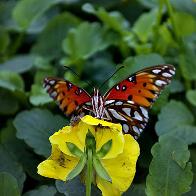 Butterfly 8 Art Print by Skip Willits