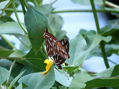 Photograph - Butterfly Afternoon Mating Session by Belinda Lee