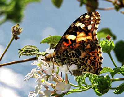 Photograph - Butterfly Amalfi Coast 3 by Helaine Cummins
