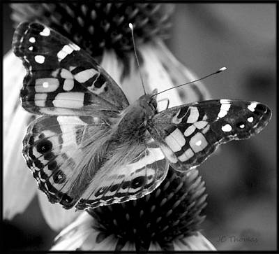 Photograph - Butterfly American Lady by James C Thomas