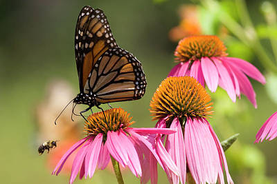 Photograph - Butterfly And A Bee by Jill Lang