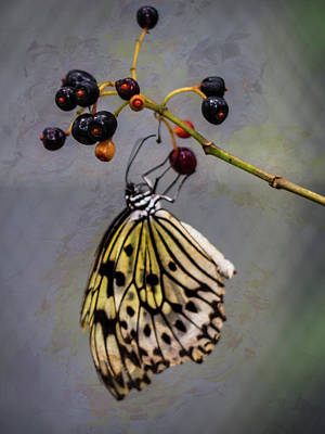 Photograph - Butterfly And Berries by Robin Zygelman