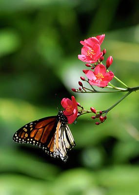 Photograph - Butterfly And Blossom by Dan McManus
