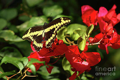 Photograph - Butterfly And Bougainvillea  by Rick Mann