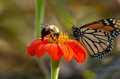 Photograph - Butterfly And Bumble Bee by Willard Killough III