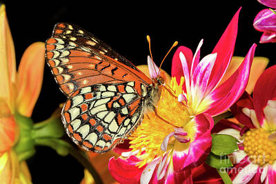 Photograph - Butterfly And Dahlias by Mimi Ditchie