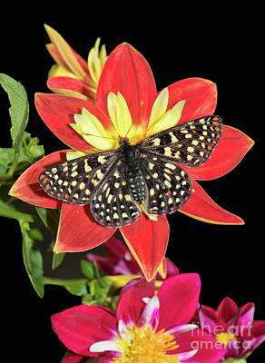 Photograph - Butterfly And Dahlias On Black by Mimi Ditchie