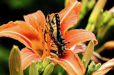 Photograph - Butterfly And Day Lily by Mim White