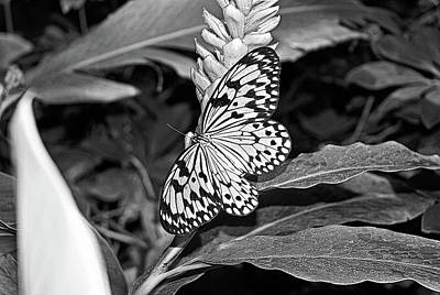 Photograph - Butterfly And Ginger by Robert Meyers-Lussier