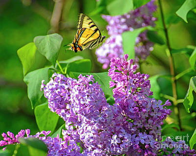 Photograph - Butterfly And Lilac by Alana Ranney