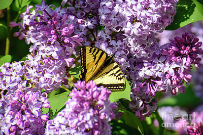 Photograph - Butterfly And Lilacs by Alana Ranney