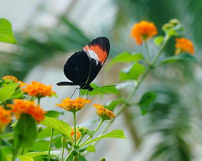 Photograph - Butterfly And Orange Flowers by Mike Murdock