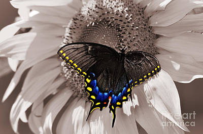 Photograph - Butterfly And Sunflower Sepia Color Splash by Eric Liller