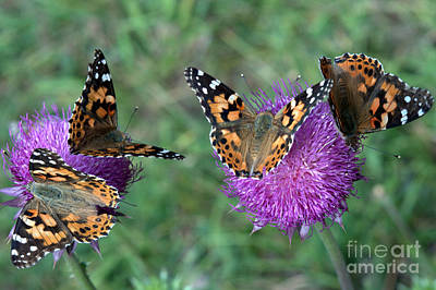 Photograph - Butterfly And Thistles by Anjanette Douglas