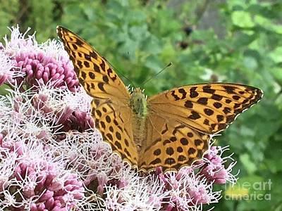 Photograph - Butterfly Argynnis Paphia  by Eva-Maria Di Bella