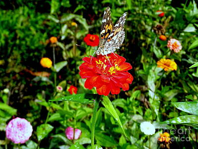 Photograph - Butterfly Beauty # 11 by Ed Weidman
