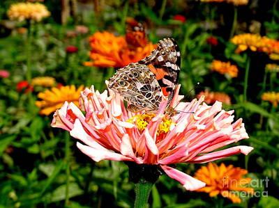 Photograph - Butterfly Beauty #13 by Ed Weidman