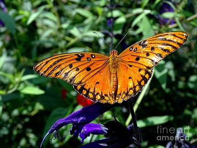Photograph - Butterfly Beauty #5 by Ed Weidman