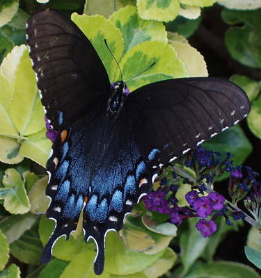 Butterfly Beauty Brown And Blue 2 Art Print by Kicking Bear  Productions