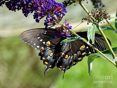 Photograph - Butterfly Beauty by Ed Weidman