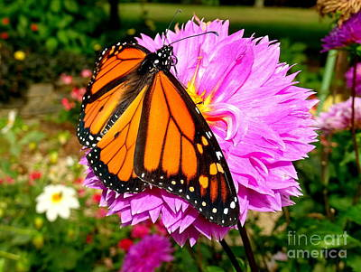 Photograph - Butterfly Blanket by Ed Weidman