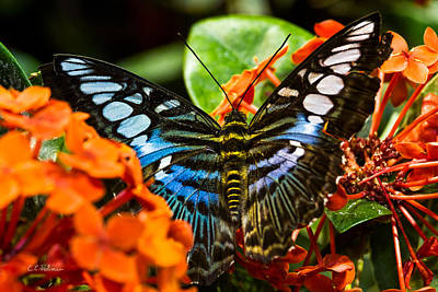 Photograph - Butterfly Blue by Christopher Holmes