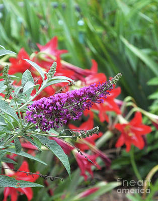 Photograph - Butterfly Bush 1 by Lizi Beard-Ward