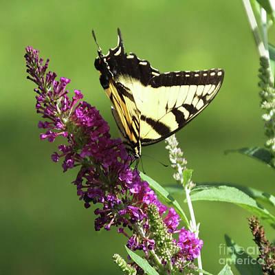 Bath Time - Butterfly Bush 6 with Giant Swallowtail by Lizi Beard-Ward