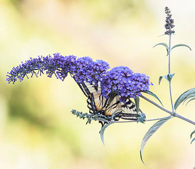 Photograph - Butterfly Bush Nature by Angie Vogel