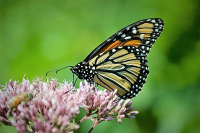 Photograph - Butterfly by Charles HALL