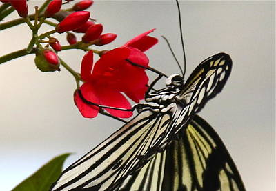 Photograph - Butterfly Close Up by Denise Mazzocco