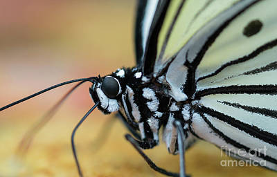Photograph - Butterfly Close Up by Giovanni Malfitano