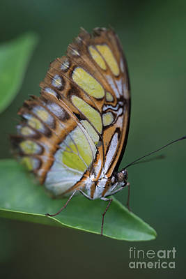 Photograph - Butterfly Close Up II by Giovanni Malfitano